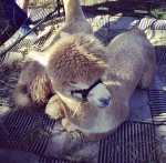 An alpaca rests near a booth of alpaca wool items for sale at Pyramid Hill Sculpture Park's Art Fair Sat., Sept. 27, 2014. Photo by Mandy Gambrell